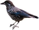 A speckled bird